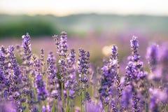 Detalhe bonito de campo scented da alfazema na luz brilhante perfeita da manhã Foto de Stock Royalty Free