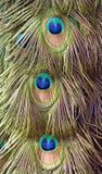 Detalhe bonito de cauda do pavão imagem de stock royalty free