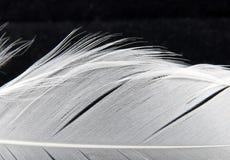 Detalhe branco da pena da cisne Fotografia de Stock