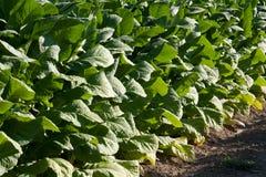 Detalhe brilhante do campo do tabaco em folhas Fotos de Stock Royalty Free