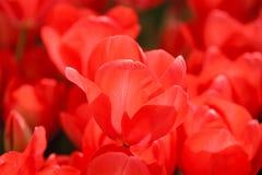 Detalhe cor-de-rosa da tulipa Fotografia de Stock