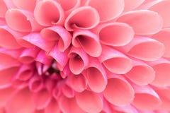 Detalhe cor-de-rosa do close-up da flor das texturas fotos de stock royalty free