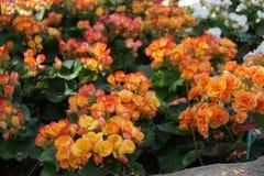 Detalhe cor-de-rosa selvagem bonito da flor Folhas e flores do verde fotos de stock royalty free