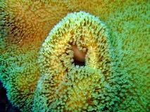 Detalhe coral marinho Imagens de Stock Royalty Free