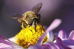 Detalhe da abelha em mums do jardim fotos de stock royalty free