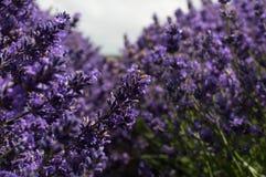 Detalhe da alfazema plant Fotografia de Stock