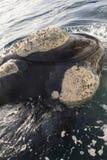 Detalhe da cabeça da baleia Imagem de Stock