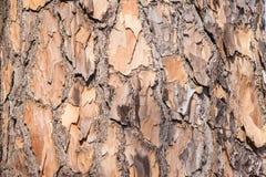 Detalhe da casca da pele da árvore Foto de Stock Royalty Free