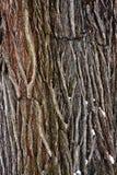 Detalhe da casca de árvore Fotografia de Stock