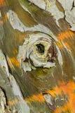 Detalhe da casca de árvore de Cypress Imagem de Stock