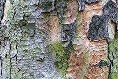 Detalhe da casca de árvore Fotos de Stock Royalty Free