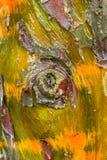 Detalhe da casca de árvore de Cypress Imagem de Stock Royalty Free