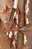 Detalhe da casca do bordo de Paperbark Imagem de Stock Royalty Free