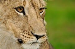 Detalhe da face do leão com fundo verde Imagem de Stock Royalty Free