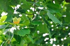 Detalhe da flor da árvore de Tulip Fotografia de Stock