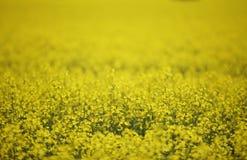 Detalhe da flor de Canola fotos de stock royalty free
