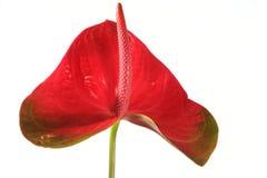 Detalhe da flor e isolado imagens de stock royalty free