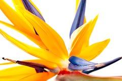 Detalhe da flor - pássaro de paraíso Foto de Stock Royalty Free