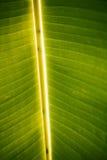 Detalhe da folha da árvore de banana Fotos de Stock Royalty Free