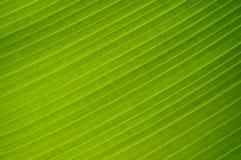 Detalhe da folha da árvore de banana imagens de stock royalty free