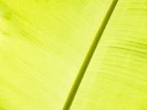 Detalhe da folha da banana Fotografia de Stock