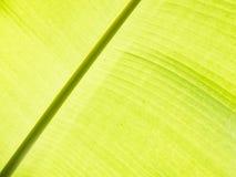 Detalhe da folha da banana Fotografia de Stock Royalty Free