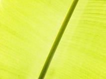 Detalhe da folha da banana Imagens de Stock Royalty Free