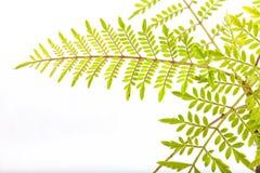 Detalhe da folha de um bonsai de Mimosifolia do jacaranda isolado imagem de stock royalty free