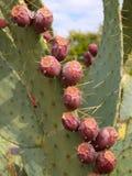 Detalhe da fruta da pera espinhosa Foto de Stock Royalty Free