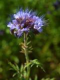 Detalhe da luz - Tansy roxo da flor azul no campo no fundo A flor roxa azul verde na flor está agitando Fotografia de Stock Royalty Free