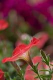 Detalhe da mola das violetas Imagens de Stock