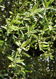 Detalhe da oliveira Imagem de Stock Royalty Free