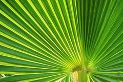 Detalhe da palma Imagens de Stock Royalty Free