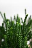 Detalhe da planta da grama do Succulent fotografia de stock