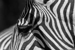 Detalhe da zebra Fotos de Stock