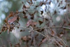 Detalhe das folhas marrons de uma hera, de uma planta seca do convólvulo foto de stock royalty free
