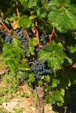 Detalhe das uvas para vinho Fotografia de Stock Royalty Free