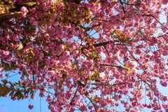 Detalhe de árvores da flor de cerejeira Foto de Stock Royalty Free