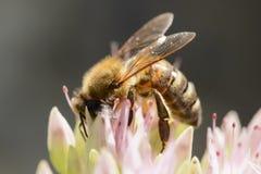 Detalhe de abelha do mel na flor no jardim imagem de stock