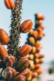 Detalhe de algum crescimento de frutos marrom em uma haste foto de stock
