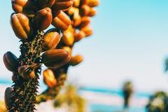 Detalhe de algum crescimento de frutos marrom em uma haste fotos de stock royalty free