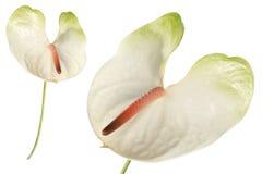 Detalhe de Anthuriumr e isolado fotos de stock royalty free