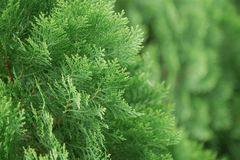 Detalhe de Arborvitae chinês Fotografia de Stock