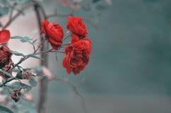 Detalhe de arbusto de rosas vermelhas como o fundo floral Feche acima da opinião rosas vermelhas em Cáucaso azerbaijan Fotografia de Stock Royalty Free