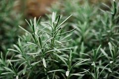 Detalhe de arbusto do rosemary Imagem de Stock