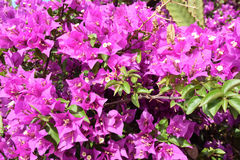Detalhe de arbusto na flor Imagens de Stock Royalty Free