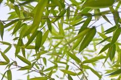 Detalhe de bambu da planta Imagens de Stock
