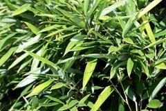 Detalhe de bambu da planta Imagem de Stock