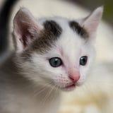 Detalhe de cabeça branca velha do gato do gato malhado de poucas semanas Fotos de Stock Royalty Free