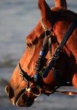 Detalhe de cabeça de cavalo, na praia Fotos de Stock Royalty Free